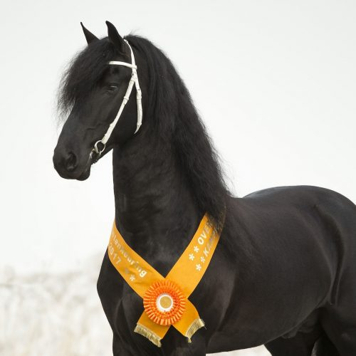 "Breeding the Majestic Friesian Horse, ""A True Champion"""